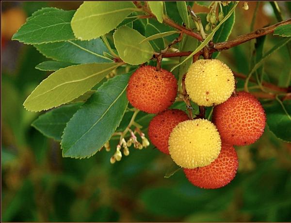 شجرة ثمرة القطلب arbre-arbousier-2jpg